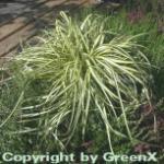 Segge Evergold - großer Topf - Carex hachijoensis
