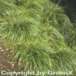 Schattensegge - Carex umbrosa