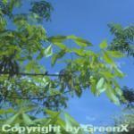 Schuppenrinden Hickorynuss 40-60cm - Carya ovata