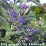 Bartblume Heavenly Blue 40-60cm - Caryopteris clandonensis
