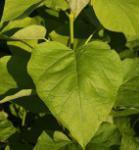 Gelber Trompetenbaum 100-125cm - Catalpa bignonioides