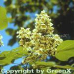 Kleinblütiger gelber Trompetenbaum 125-150cm - Catalpa ovata