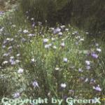 Rasselblume - Catananche caerulea