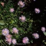 Zierliche Silber Flockenblume - Centaurea bella