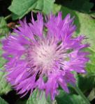 Skabiosen Flockenblume - Centaurea scabiosa