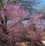 Kanadischer Judasbaum Apalachian Red 125-150cm - Cercis canadensis