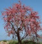 Yunnan Judasbaum 100-125cm - Cercis yunnanensis