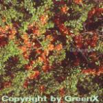 Niedrige Scheinquitte Sargentii 30-40cm - Chaenomeles japonica