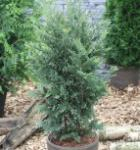 Grün Blaue Scheinzypresse 60-80cm - Chamaecyparis lawsoniana