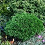 Scheinzypresse Green Globe 10-15cm - Chamaecyparis lawsoniana