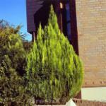Gelbe Kegelzypresse Romana 20-25cm - Chamaecyparis lawsoniana