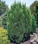 Gartenzypresse Snow White® 50-60cm - Chamaecyparis lawsoniana