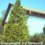 Gelbe Gartenzypresse Stardust 30-40cm - Chamaecyparis lawsoniana