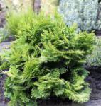 Hinoki Scheinzypresse 20-25cm - Chamaecyparis obtusa