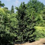 Hinoki Scheinzypresse Teddy Bear 20-25cm - Chamaecyparis obtusa