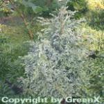 Zwerg Silberzypresse Baby Blue 10-15cm - Chamaecyparis pisifera