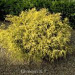 Fadenzypresse Gold Spangle 30-40cm - Chamaecyparis pisifera