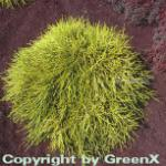Gelbe Fadenzypresse Sungold 15-20cm - Chamaecyparis pisifera