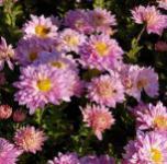 Winteraster Andante - Chrysanthemum hortorum