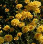 Winteraster Friederike - Chrysanthemum hortorum