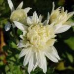 Winteraster Larry - Chrysanthemum hortorum