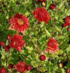Winteraster Rumpelstilzchen - Chrysanthemum Indicum