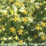 Goldkörbchen - Chrysogonum virginianum