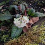 Milzkraut - Chrysosplenium macrophyllum