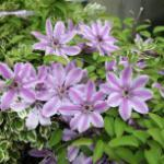 Waldrebe Capitaine Thuilleaux 60-80cm - Clematis