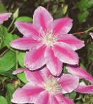 Waldrebe Dr Ruppel 40-60cm - Clematis