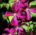 Waldrebe Gipsy Queen 60-80cm - Clematis