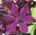 Waldrebe Honora 40-60cm - Clematis