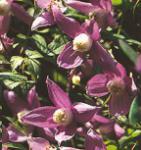 Alpen Waldrebe Ruby 60-80cm - Clematis alpina