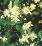 Waldrebe Paul Farges 60-80cm - Clematis fargesioides