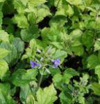 Stauden Clematis Cassandra - Clematis heracleifolia