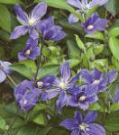 Staudenclematis Durandii 60-80cm - Clematis integrifolia