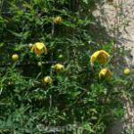 Englische Waldrebe Orange Peel 60-80cm - Clematis texensis