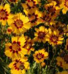 Mädchenauge Babygold - Coreopsis grandiflora