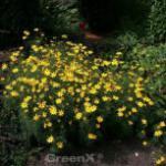 Mädchenauge Crème Brulee - Coreopsis rosea