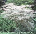 Weißbunter Pagodenhartriegel 40-60cm - Cornus alternifolia