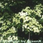 Chinesischer Blumenhartriegel Wietings Select 80-100cm - Cornus kousa
