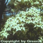 Chinesischer Blumenhartriegel 80-100cm - Cornus kousa