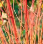 Orangerindiger Hartriegel Midwinter Fire 40-60cm - Cornus sanguinea