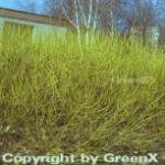Gelber Hartriegel 40-60cm - Cornus stolonifera