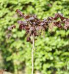 Hochstamm Rotblättrige Korkenzieher Hasel 100-125cm - Corylus avellana