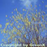 Haselnussstrauch Waldhasel 80-100cm - Corylus avellana