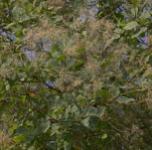 Perückenstrauch Smokey Joe 40-60cm - Cotinus coggygria