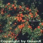 Immergrüne Kissenmispel 15-20cm - Cotoneaster microphyllus