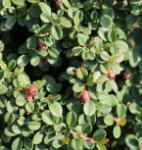 10x Kriechmispel Streibs Findling 10-15cm - Cotoneaster dammeri