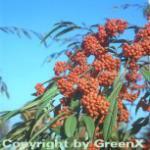 Weidenblättrige Hängemispel 125-150cm - Cotoneaster salicifolius